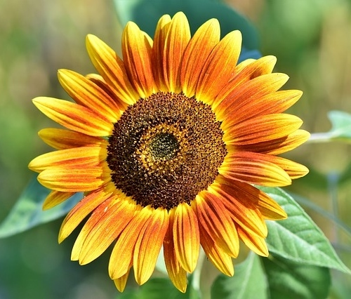 Sunflower 3614728 640 (1)